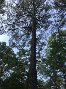 Hawn Tree